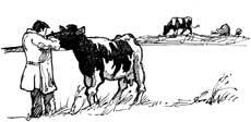 Dyrlæge med sortbroget ko.